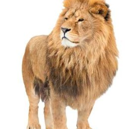 The old lion. Alpha male. isolated